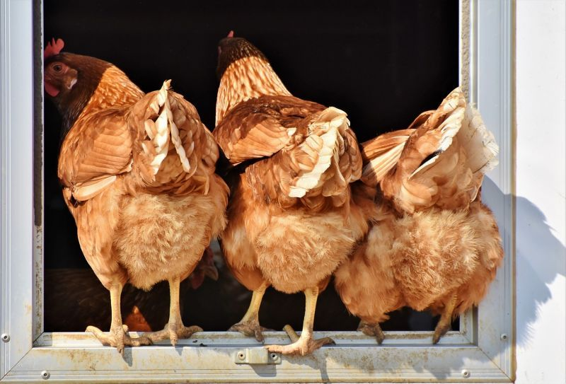 marketing e galline